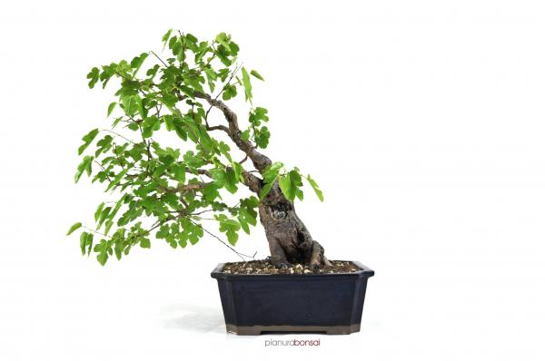Bonsai Morus Gelso