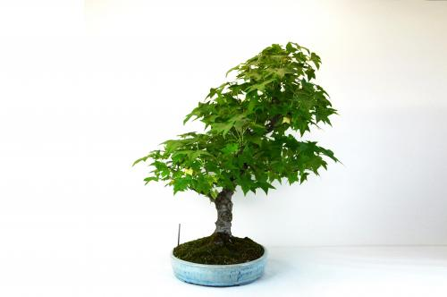 Bonsai Liquidambar