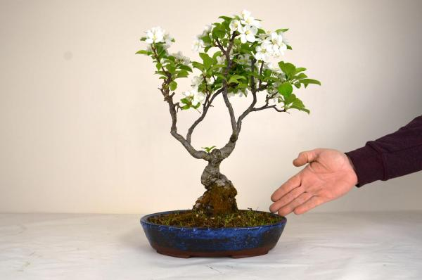 Bonsai Malus halliana melo