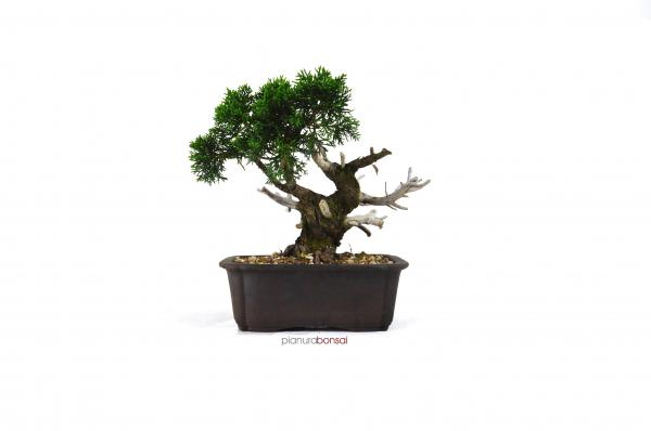 Bonsai Juniperus Kishu