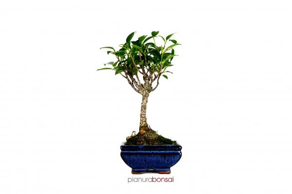 Bonsai Ficus retusa vaso 12cm