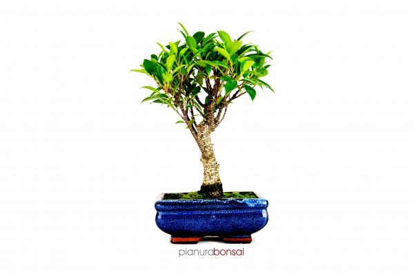 Bonsai Ficus retusa vaso 15cm