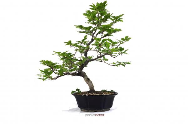 Bonsai Fagus sylvatica