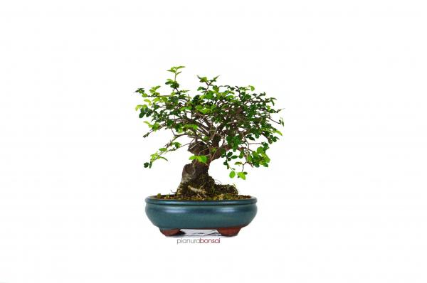 Bonsai Zelkova