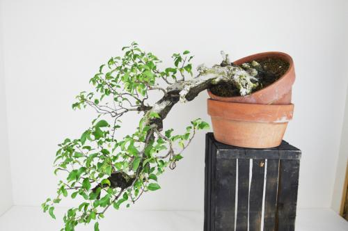 Bonsai Prunus mahaleb