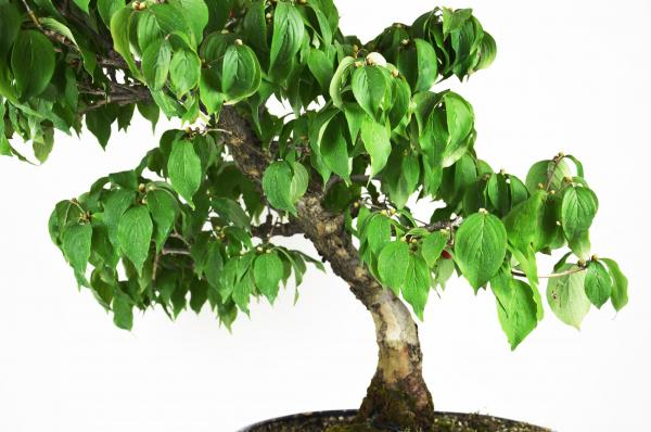 Bonsai Cornus mas