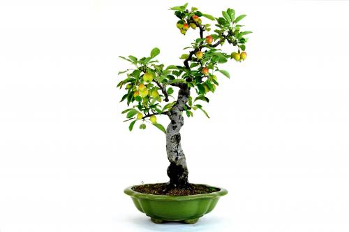 Bonsai Malus halliana