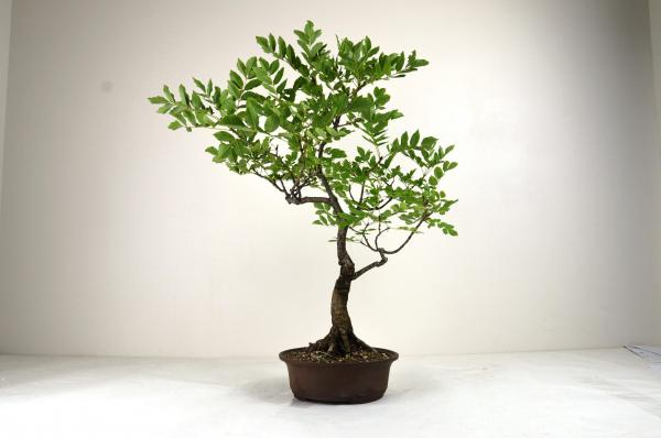 Bonsai Frassino