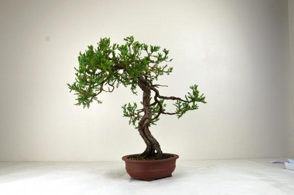 Bonsai Juniperus rigida