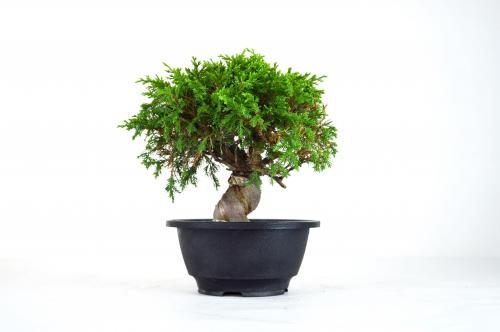 Bonsai Juniperus Itoigawa