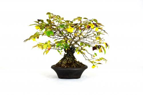 Bonsai Forsythia