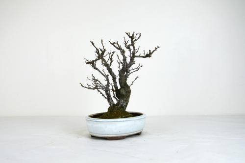 Bonsai Pourthiaea villosa