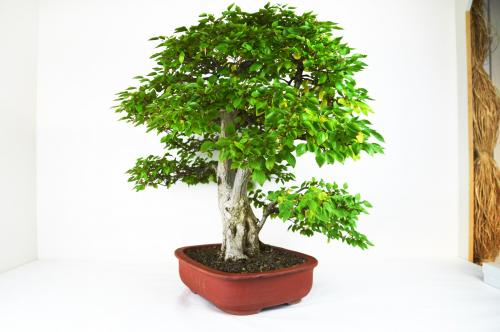 Bonsai Carpinus coreana