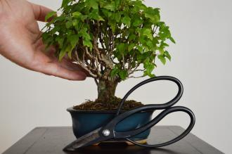 sold Bonsai Acer buergerianum
