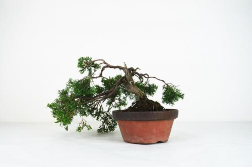 Bonsai Juniperus chinensis