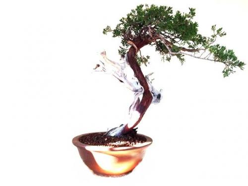 Bonsai Juniperus Sabina
