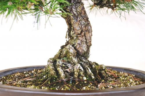 Bonsai Pinus thunbergii