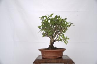 "Punica granatum ""Melograno"""